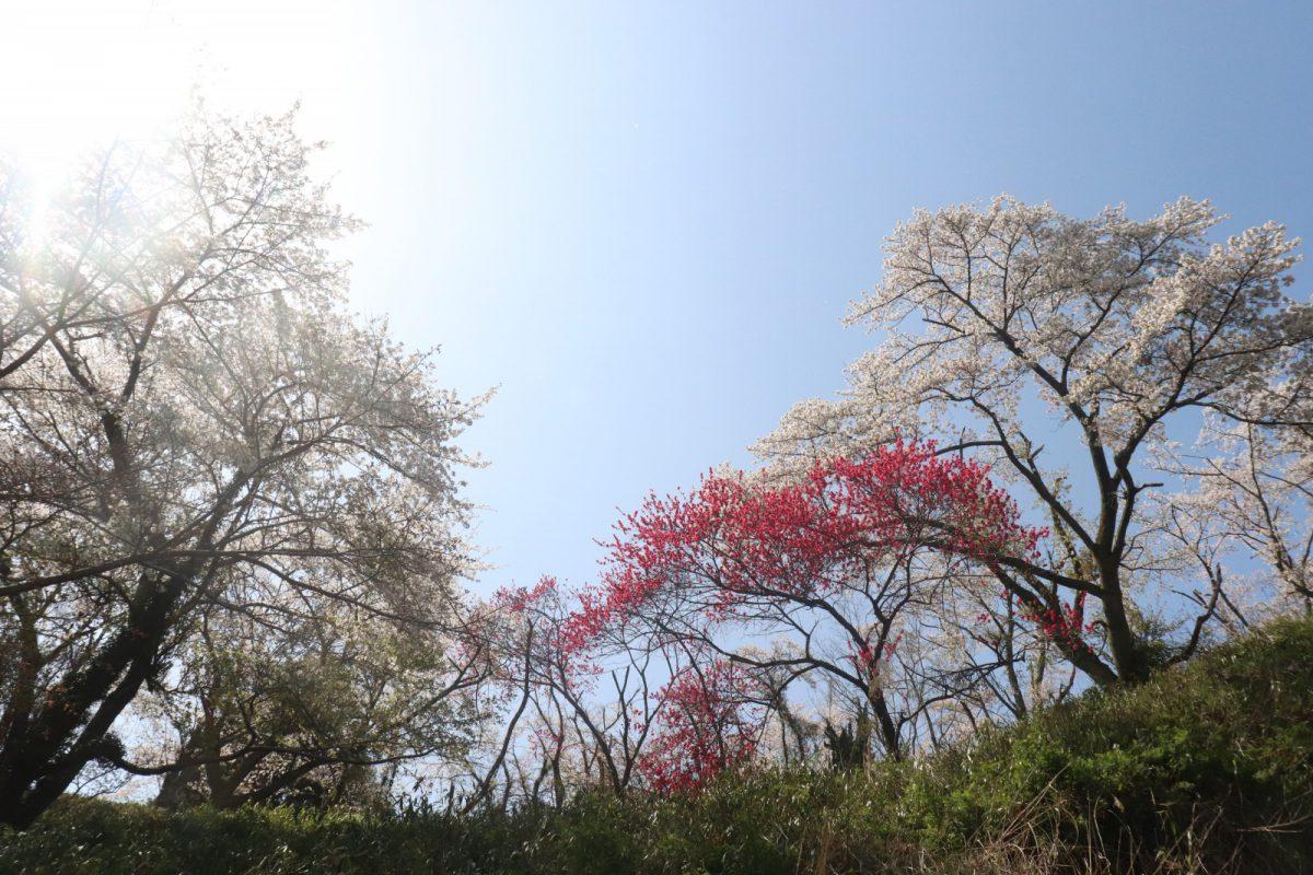 写真1:金比羅公園の桜