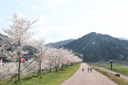 写真:桜並木